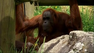 International breeding program trying to save endangered orangutan species